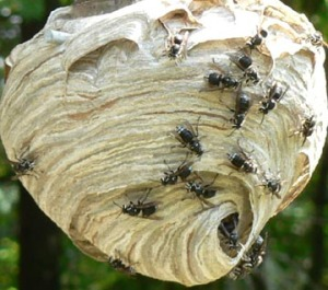 """Bald Face Hornets Nest"""