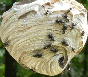 """""""Bald Face Hornets Nest"""""""